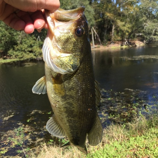 Largemouth bass new orleans city park la fishingscout for Louisiana bass fishing reports