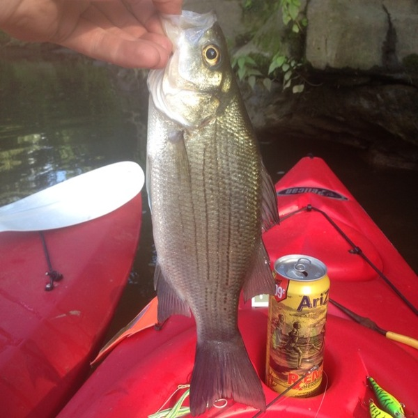 White bass upper ohio river wv fishingscout for Ohio fishing report