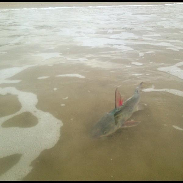 Gafftopsail catfish corpus christi surf tx fishingscout for Fishing report corpus christi texas