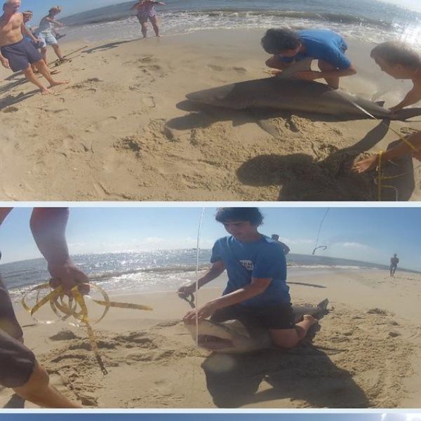 Sandbar shark delaware bay de nj fishingscout for Fishing report nj