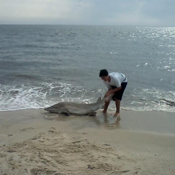 Sand tiger shark delaware bay de nj fishingscout for Delaware bay fishing report