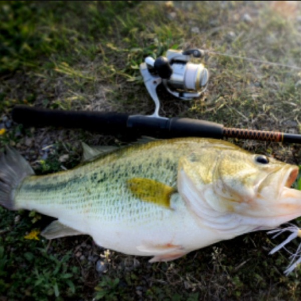 Largemouth bass catahoula lake la fishingscout for Louisiana bass fishing reports