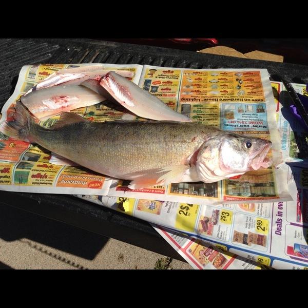 Walleye saginaw bay mi fishingscout for Saginaw bay fishing report