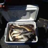 Fishingscout mobile app new jersey fishing reports for Barnegat inlet fishing report