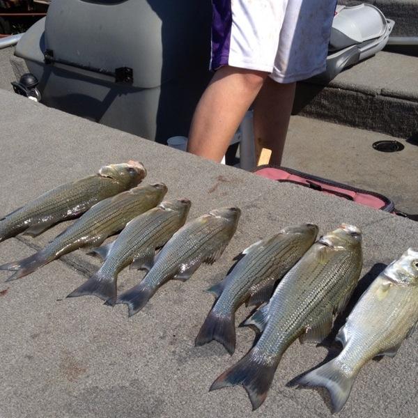 White bass lake ray roberts tx fishingscout for Lake ray roberts fishing report