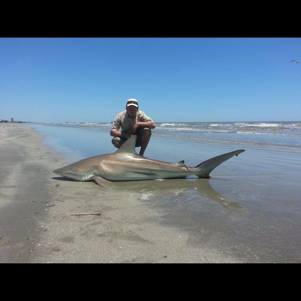 Sandbar shark galveston island beach tx fishingscout for Galveston fishing reports