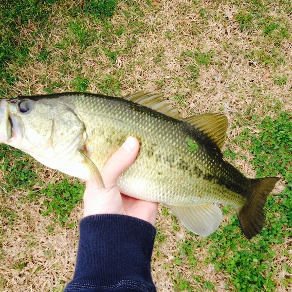 Largemouth bass houma ponds la fishingscout for Louisiana bass fishing reports
