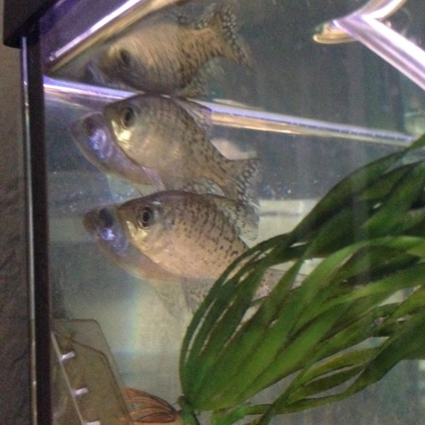 White crappie rockwall ponds tx fishingscout for Pond fish wanted