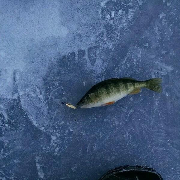 Yellow perch fernan lake id fishingscout for Idaho ice fishing report