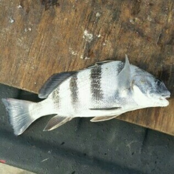 Black drum rollover pass tx fishingscout for Rollover pass fishing report