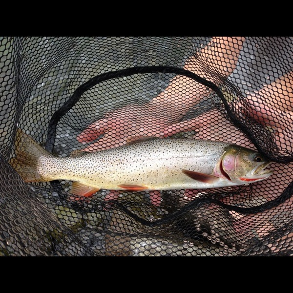 Cutthroat trout jackson lake wy fishingscout for Jackson lake fishing report