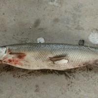 Buffalo Bayou Fishing Report 05/08/2017