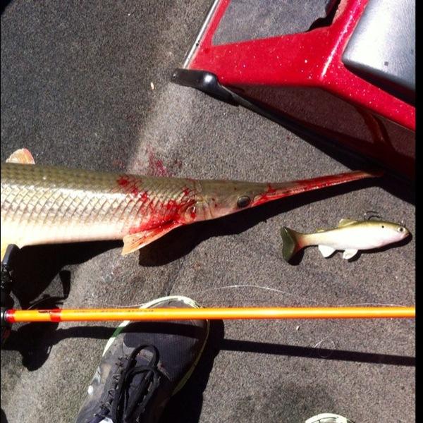 Longnose gar lake ray roberts tx fishingscout for Lake ray roberts fishing report