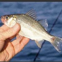 San Gabriel River Fishing Report 03/18/2016