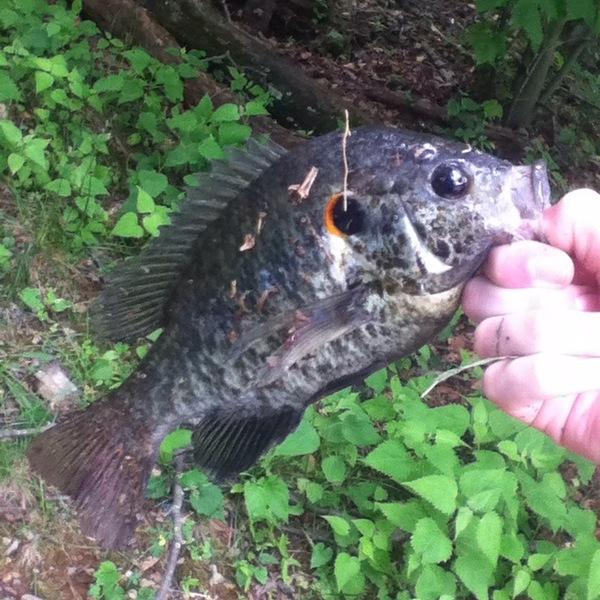 Peaks of otter lake fishing reports fishingscout mobile app for Otter creek fishing report