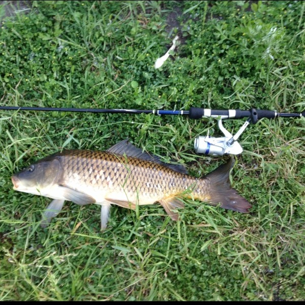 Common carp wolf lake il in fishingscout for Wolf lake fishing