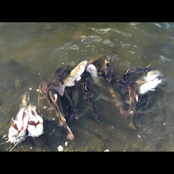 Bullhead catfish san luis reservoir ca fishingscout for San luis reservoir fishing
