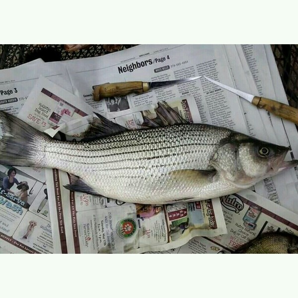 Striped bass otter creek ky fishingscout for Otter creek fishing report