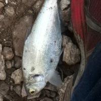Lake Alan Henry Fishing Report 06/17/2013